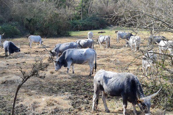 Monterano Mucche